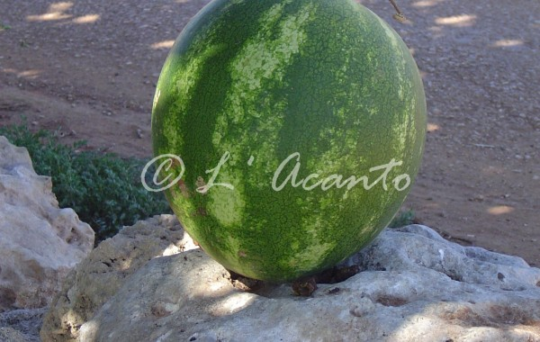 lost water melon