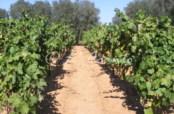 path in the vineyard