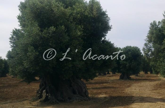 Puglian master, olive tree