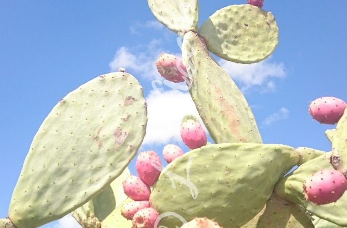 learning the Italian fruit in Summertime, fichi d'india