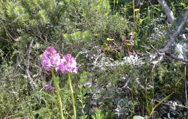 wild orchids in spring