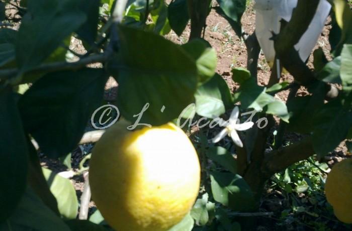 limon e zagara flower