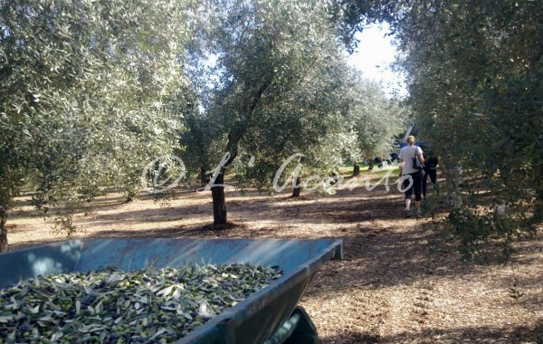 walking in the olive grove
