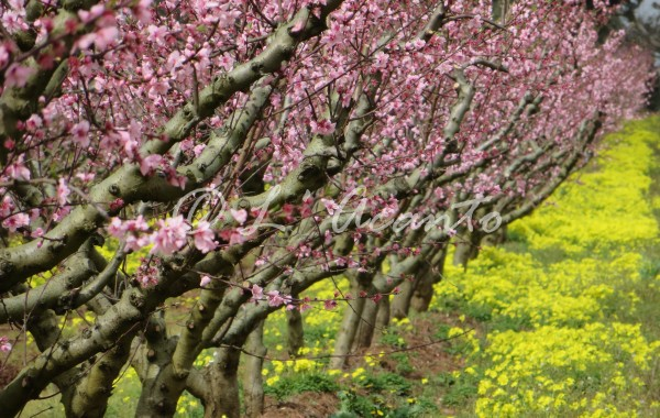pink peach trees