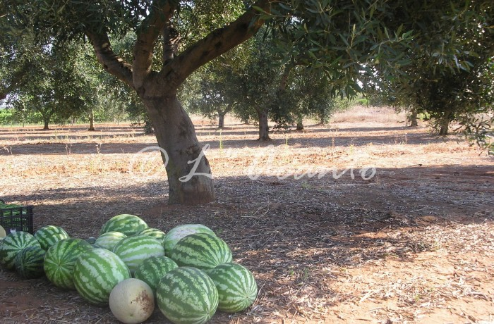 water melons under olive tree